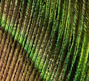Pfauenauge, Pfauenfeder, Close-up