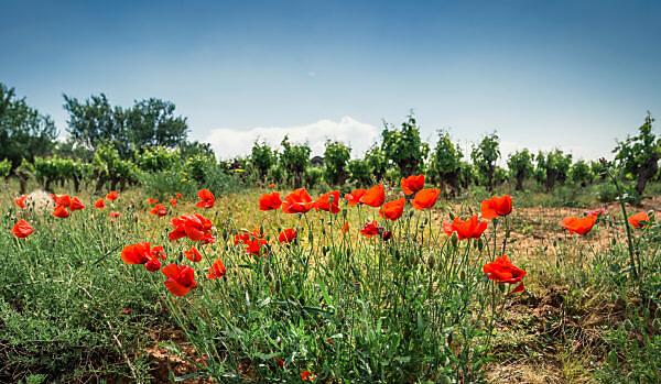 Weinfeld und Mohnblumen im Frühling