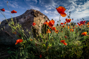 Poppies in spring at Fleury d'Aude