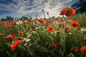 Frühlingswiese mit Mohnblumen bei Fleury d'Aude
