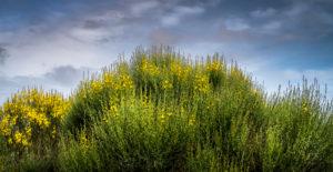 Blühender Ginster bei Vinassan im Frühling
