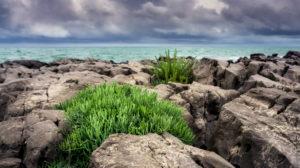 Meerfenchel im Frühling bei Saint Pierre la Mer. Medizinisch wie kulinarisch nutzbar.