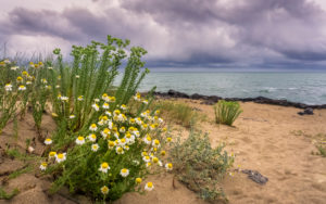 Real beach chamomile at Saint Pierre la Mer in spring