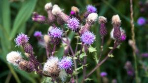Gewöhnliche Kratzdistel bei Coursan im Frühling.  Nationalblume Schottlands.