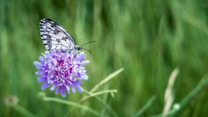 Schachbrett Schmetterling auf einer Acker Witwenblüte im Frühling bei Coursan. Schmetterling des Jahres 2019