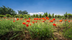 Poppies in front of vineyard at Névian in spring