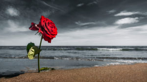 Rose on the beach at Narbonne Plage in summer