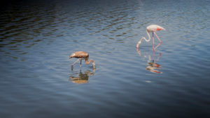 Greater flamingo and young bird near Peyriac de Mer in the Narbonnaise Regional Nature Park in summer