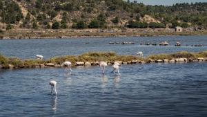 Greater flamingos at Peyriac de Mer in the Narbonnaise Regional Nature Park in summer