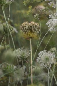 Wild carrot, Daucus carota, flower meadow, umbelliferae, seed pods