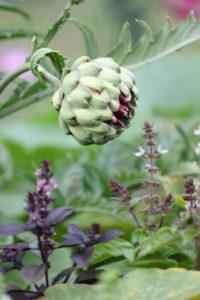 Artischocke, Cynara cardunculus, Gemüse, Gemüse im Blumenbeet, essbare Blüten, Basilikum