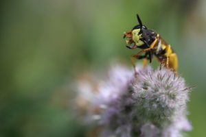 Bienenwolf, Philanthus triangulum, Große Sterndolde, Grabwespe, Bienenwolfweibchen auf Minze, Mentha, Minze, Naturgarten