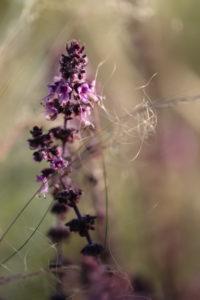 Basil, ocimum, basil flower