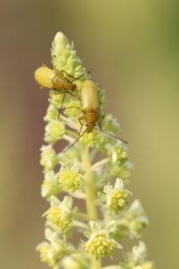 Sulfur beetle (Cteniopus flavus) on Yellow Wau (Reseda lutea), Yellow Resede