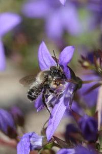 A male of the garden leafcutter bee (Megachile willughbiella) on the cushion bellflower (Campanula poscharskyana)