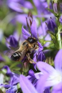 Female of the garden leafcutter bee (Megachile willughbiella) on the cushion bellflower (Campanula poscharskyana)
