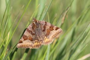Brown day owl, Euclidia glyphica