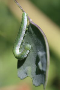Aurora caterpillar (Anthocharis cardamines) feeds on the annual silver leaf (Lunaria annua)