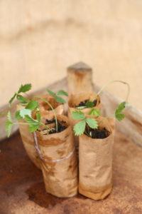 Strawberries in Paper Pots, Paper Potter