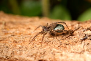 Female of a wolf spider (Pardosa) with an egg cocoon