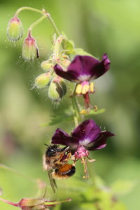 Female of the red mason bee (Osmia bicornis) on the flower of the brown cranesbill (Geranium phaeum)