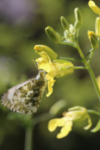 Female of the Aurora butterfly (Anthocharis cardamines) on a cabbage blossom