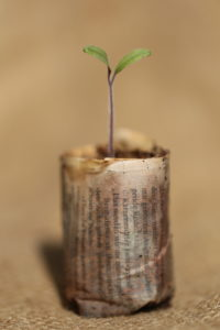 Tomato seedling in a paper pot made of newsprint, made with the Paper Potter
