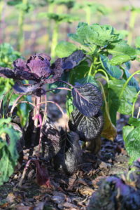 Varieties of cabbage in the winter bed