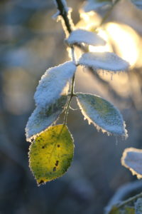 Rose petals in frost with winter sun