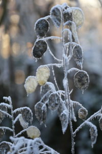 Seed stand of the annual silver leaf (Lunaria annua) in frost