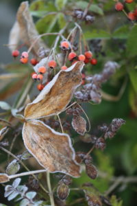 Rose hips and vetch leaves in frost