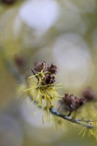 Virginian witch hazel (Hamamelis virginiana) flowers in October