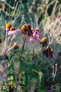 Purple coneflower (Echinacea purpurea) withering