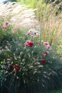 Autumn bed with dahlias, Chinese reeds (Miscanthus) and lamp-cleaner grass (Pennisetum) in the backlight
