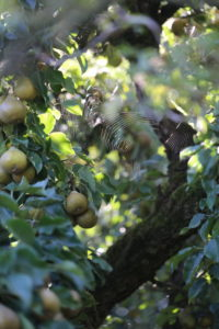 Pear tree with fruits and spider web in September