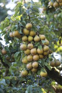 Pears, Pyrus communis