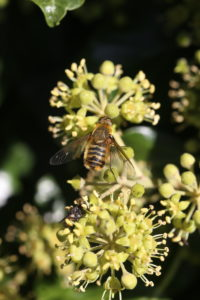 Hottentot fly (Villa hottentotta) on ivy (Hedera helix)