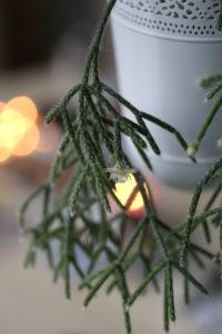 Flowering rod cactus (Rhipsalis pilocarpa) in the Advent season