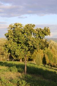 Medlar (Mespilus germanica), tree in the evening light