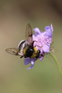 Hover fly Sericomyia bombiformis