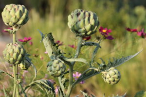 Artischocke, Cynara cardunculus, Gemüse, Gemüse im Blumenbeet, essbare Blüten, Cosmea