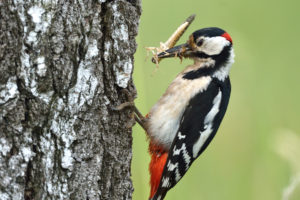 Great spotted woodpecker on tree, Dendrocopos major