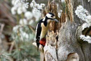 Great spotted woodpecker on tree stump, Dendrocopos major