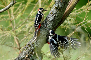 Great spotted woodpeckers on tree, Dendrocopos major