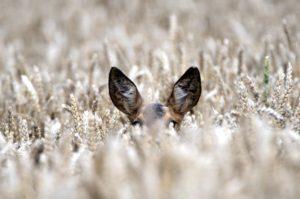 Deer in grain field, close-up, Capreolus capreolus