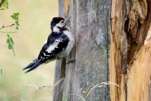 great woodpecker, Dendrocopos major,