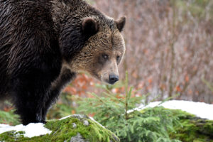 Forest, brown bear, snow,
