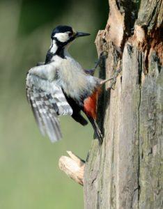 Great woodpecker