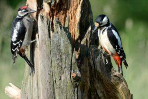 Great woodpeckers
