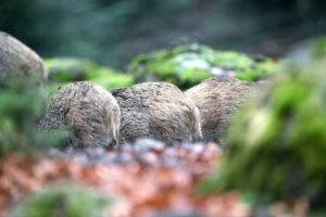Wild boar, Sus scrofa scrofa, forest